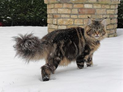 UA nice specimen of the breed Maine Coon